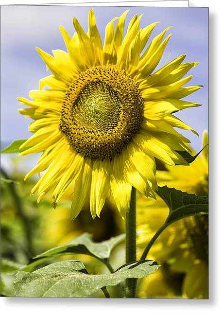 Sunflower Greeting Card by Fran Gallogly