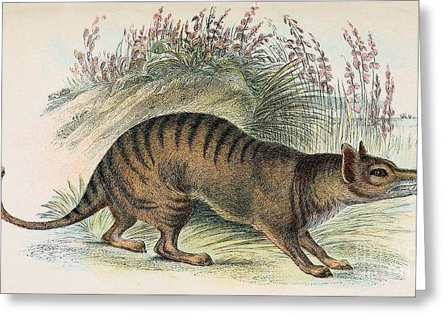 Replacing Greeting Cards - Tasmanian Tiger, Extinct Species Greeting Card by Biodiversity Heritage Library