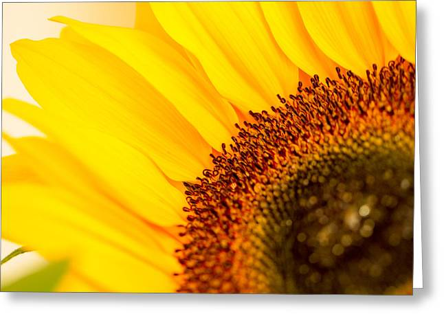 Yellow Sunflower Pyrography Greeting Cards - The Sunflower Greeting Card by Peteris Vaivars