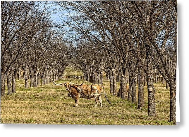 Steer Greeting Cards - The Wandering Longhorn Greeting Card by Mountain Dreams