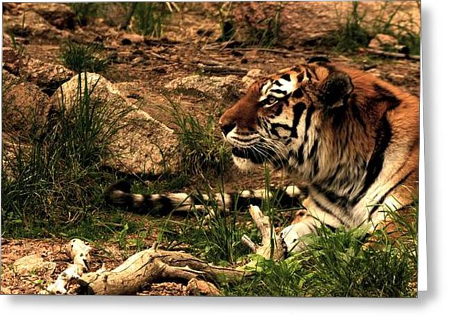 Zoology Greeting Cards - Tiger Greeting Card by FL collection
