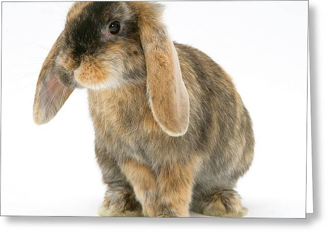 Lop Greeting Cards - Tortoiseshell Dwarf Lop Rabbit Greeting Card by Jane Burton