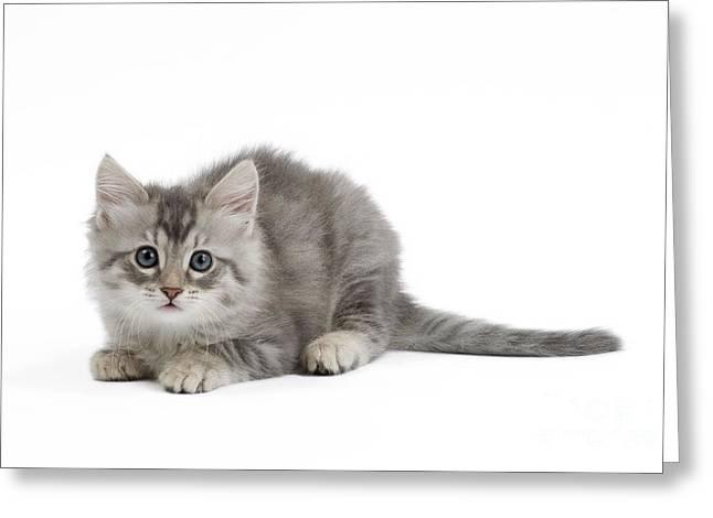 Angora Greeting Cards - Turkish Angora Kitten Greeting Card by Jean-Michel Labat