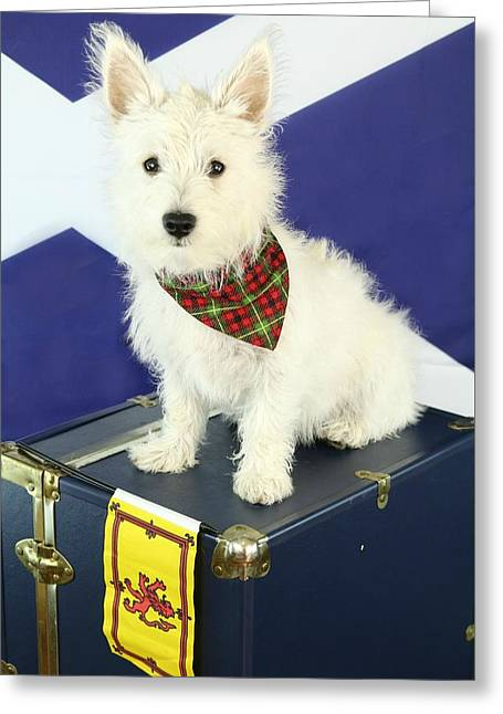 Puppies Photographs Greeting Cards - Westie Greeting Card by Amanda Stadther