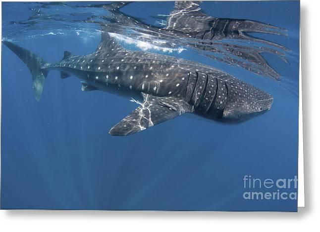 Isla Mujeres Greeting Cards - Whale Shark Feeding Off Coast Of Isla Greeting Card by Karen Doody