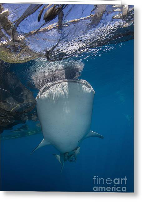 Sea Platform Greeting Cards - Whale Shark Swimming Under Bagan Greeting Card by Mathieu Meur
