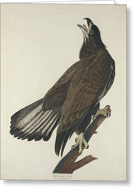 Eagle Greeting Cards - White Headed Eagle Greeting Card by John James Audubon