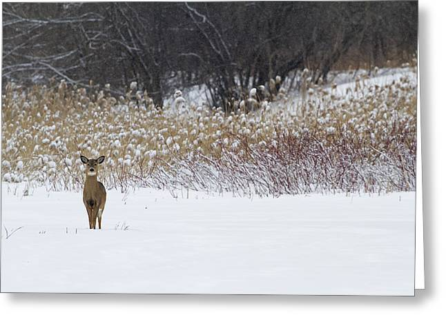 Temperature Greeting Cards - White-tailed Deer  Odocoileus Greeting Card by Philippe Henry