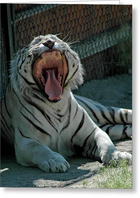 Mammals Greeting Cards - White Tiger Greeting Card by LeeAnn McLaneGoetz McLaneGoetzStudioLLCcom