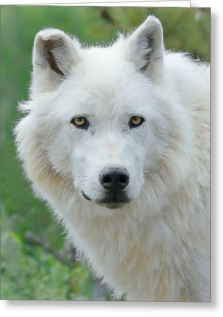 Puppies Photographs Greeting Cards - White Wolf  Greeting Card by Athena Mckinzie