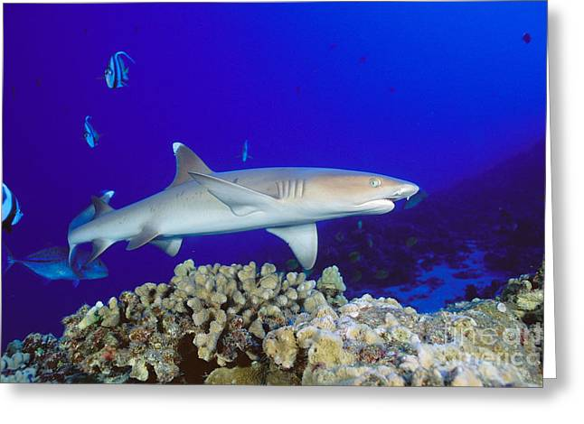 White Shark Greeting Cards - Whitetip Reef Shark Greeting Card by Dave Fleetham - Printscapes