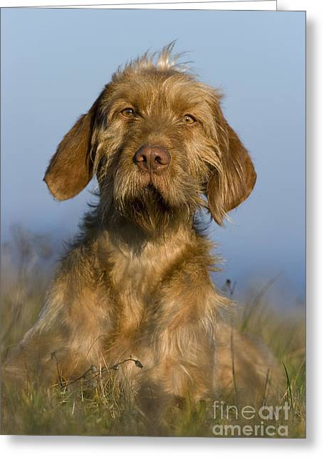 Magyar Vizsla Greeting Cards - Wirehaired Vizsla Greeting Card by Jean-Louis Klein & Marie-Luce Hubert
