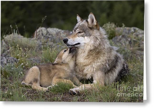 Gray Muzzle Greeting Cards - Wolf Cub Begging For Food Greeting Card by Jean-Louis Klein & Marie-Luce Hubert