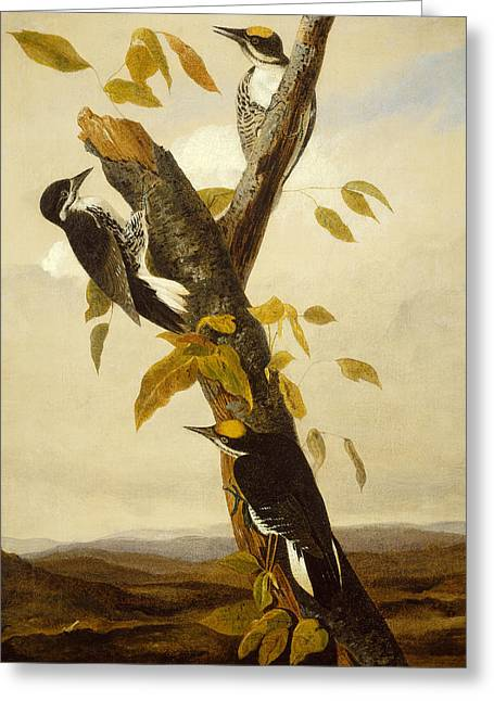 Woodpeckers Greeting Card by John James Audubon