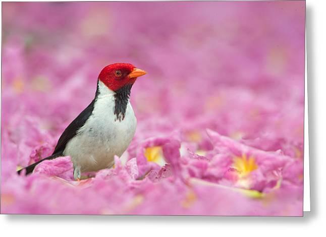Cardinals. Wildlife. Nature. Photography Greeting Cards - Yellow-billed Cardinal Paroaria Greeting Card by Panoramic Images