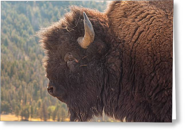 Yellowstone Bison Greeting Card by Brenda Jacobs