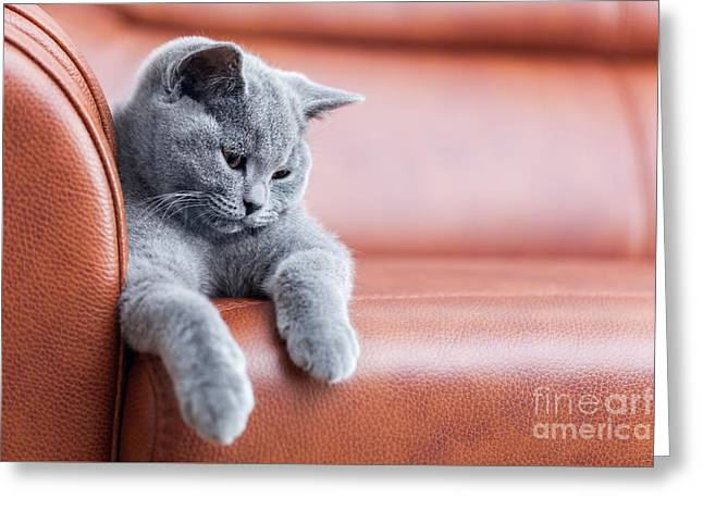 Young Cute Cat Resting On Leather Sofa. The British Shorthair Kitten With Blue Gray Fur Greeting Card by Michal Bednarek