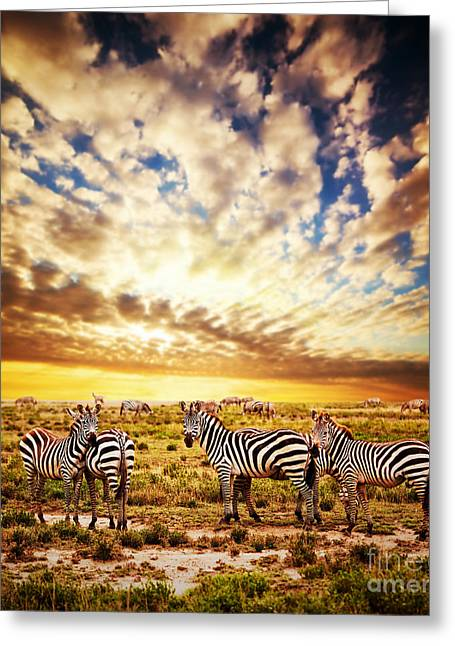 Wildlife Sunset Greeting Cards - Zebras herd on African savanna at sunset. Greeting Card by Michal Bednarek