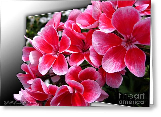 Vivid Colour Mixed Media Greeting Cards - Zonal Geranium named Candy Fantasy Kiss Greeting Card by J McCombie