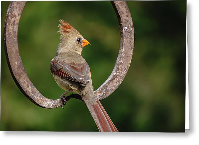 Female Northern Cardinal Greeting Cards - Ms Cardinal Greeting Card by Larry Pacey
