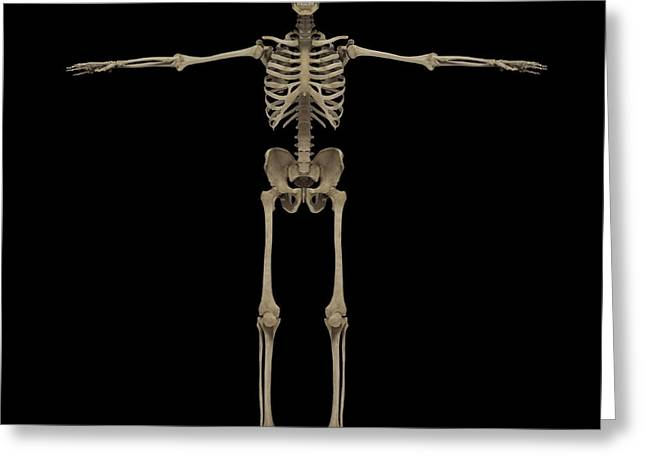 Costae Fluitantes Greeting Cards - 3d Rendering Of Human Skeletal System Greeting Card by Stocktrek Images