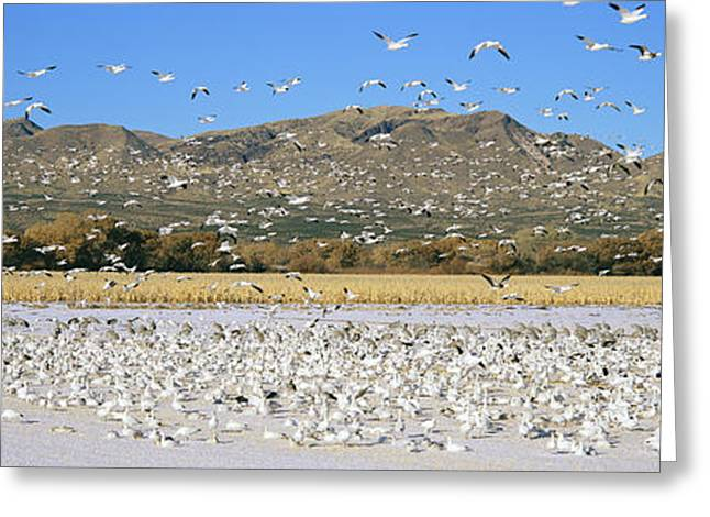 Wildlife Refuge Greeting Cards - A Panoramic Of Thousands Of Migrating Greeting Card by Panoramic Images