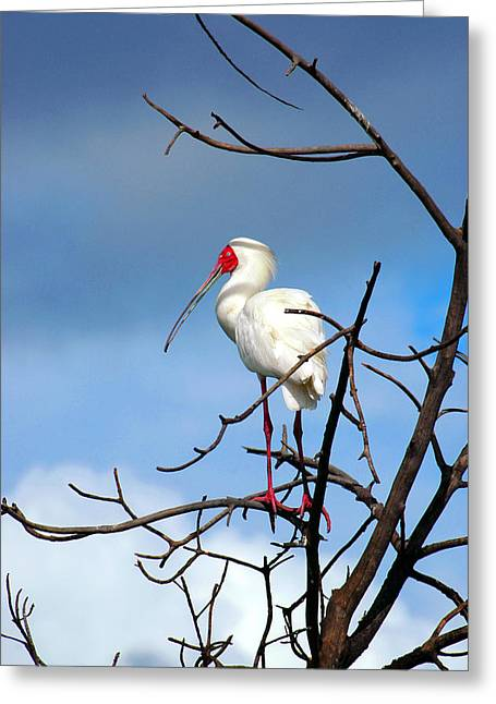 Mangrove Forest Greeting Cards - African Spoonbill in Casamance Senegal Greeting Card by Eduardo Huelin