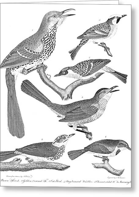 American Ornithology Greeting Card by Granger