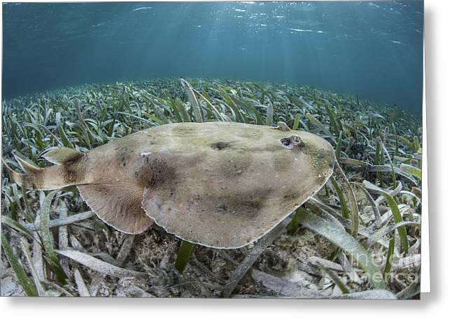 An Electric Ray On The Seafloor Greeting Card by Ethan Daniels