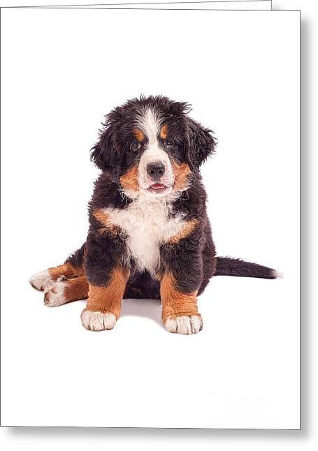 Puppies Photographs Greeting Cards - Bernese Mountain Dog Puppy Greeting Card by Aleksey Tugolukov