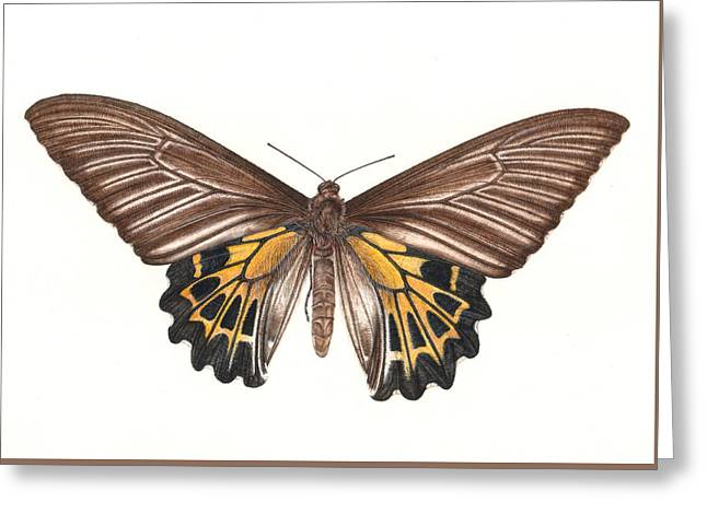 Detail Drawings Greeting Cards - Birdwing Butterfly Greeting Card by Rachel Pedder-Smith