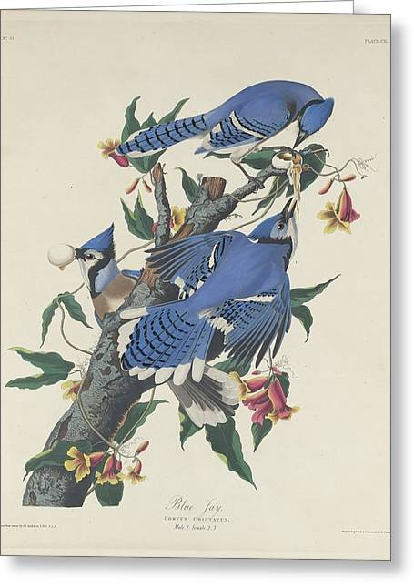Blue Jay Greeting Card by John James Audubon