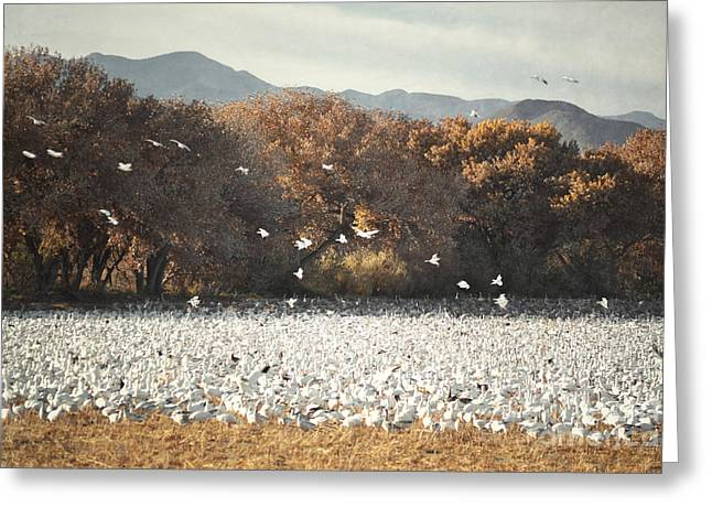 Wildlife Refuge. Greeting Cards - Bosque del Apache Snow Geese Field Greeting Card by Andrea Hazel Ihlefeld