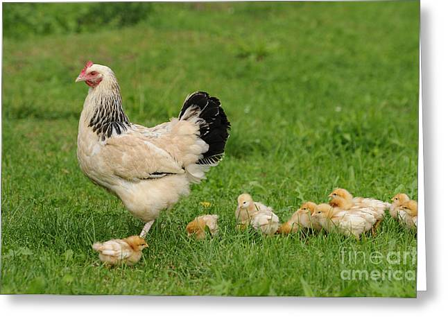 Chicken With Chicks Greeting Card by David & Micha Sheldon