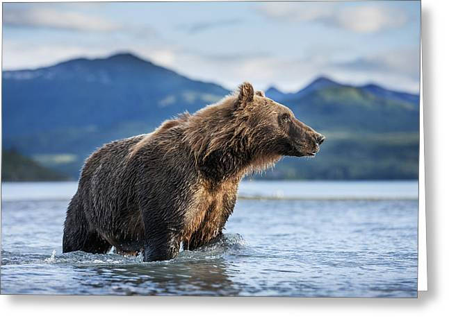 Coastal Brown Bear  Ursus Arctos Greeting Card by Paul Souders