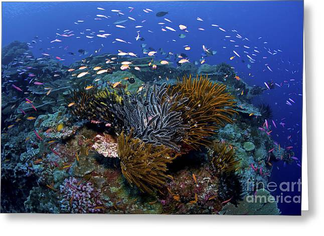 Cnidaria Greeting Cards - Colourful Reef Scene, Christmas Island Greeting Card by Mathieu Meur