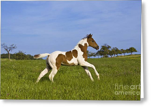 Paint Foal Greeting Cards - Colt Galloping In Meadow Greeting Card by Jean-Louis Klein & Marie-Luce Hubert