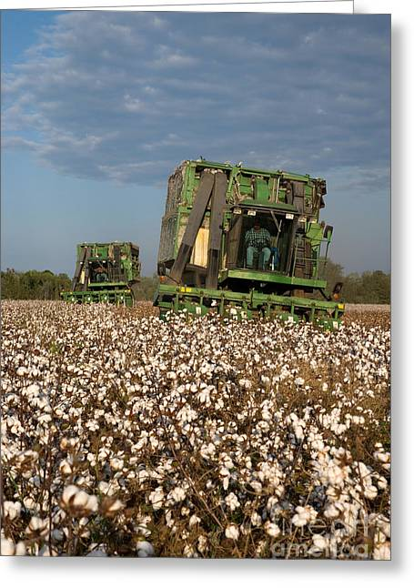 Cotton Pickers Greeting Cards - Cotton Harvest Greeting Card by Inga Spence