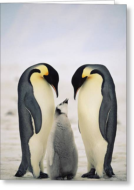 Aptenodytes Forsteri Greeting Cards - Emperor Penguin Family Greeting Card by Konrad Wothe