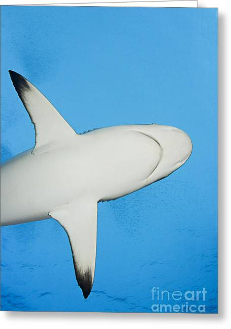 Yapping Greeting Cards - Grey reef shark Greeting Card by Dave Fleetham - Printscapes