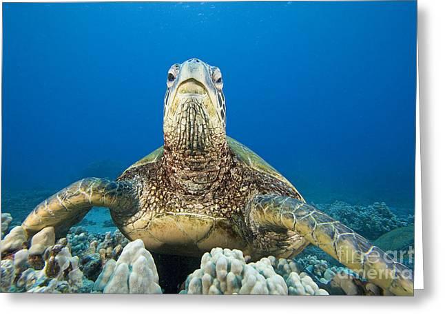 Animal Wisdom Greeting Cards - Hawaii, Green Sea Turtle Greeting Card by Dave Fleetham - Printscapes