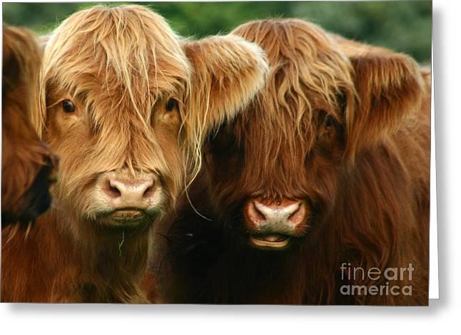 Highland Cow Greeting Cards - Highland Cattle Greeting Card by Angel  Tarantella