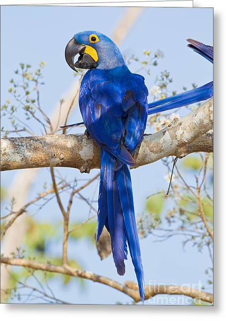 Hyacinth Macaw Greeting Cards - Hyacinth Macaw Greeting Card by B.G. Thomson