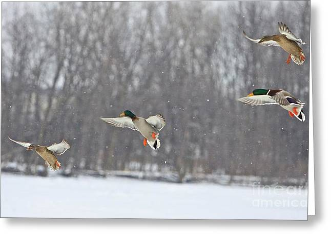 Mallards Greeting Cards - 4 In A Row Greeting Card by Robert Pearson