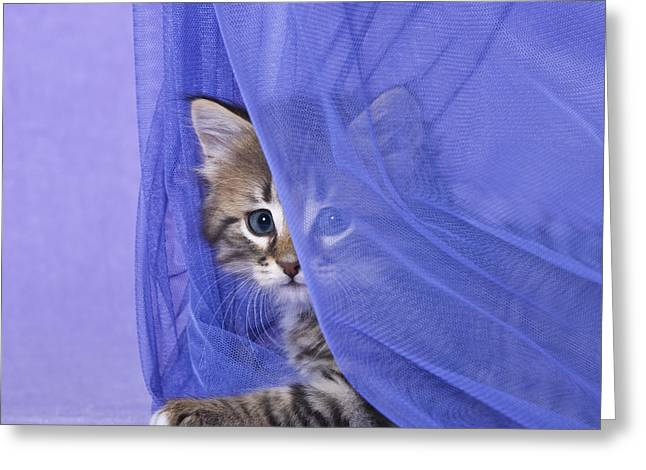House Pet Greeting Cards - Kitten With A Curtain Greeting Card by Jean-Louis Klein & Marie-Luce Hubert