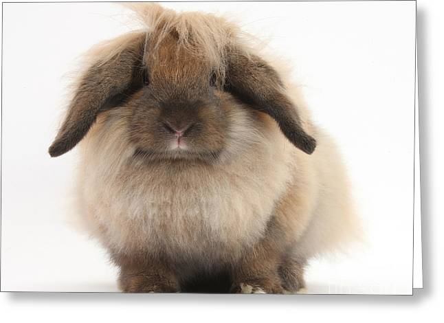 Lionhead-lop Rabbit Greeting Card by Mark Taylor