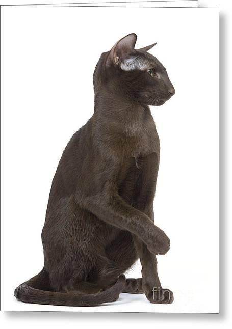 House Pet Greeting Cards - Oriental Cat Greeting Card by Jean-Michel Labat
