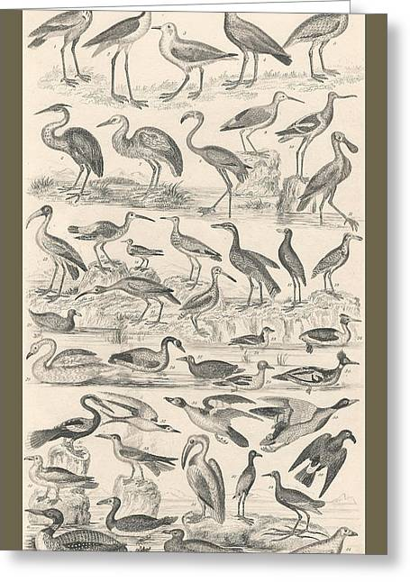 Thomas Drawings Greeting Cards - Ornithology Greeting Card by Captn Brown
