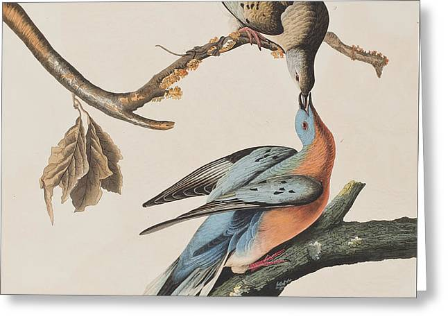 Calligraphy Art Greeting Cards - Passenger Pigeon Greeting Card by John James Audubon