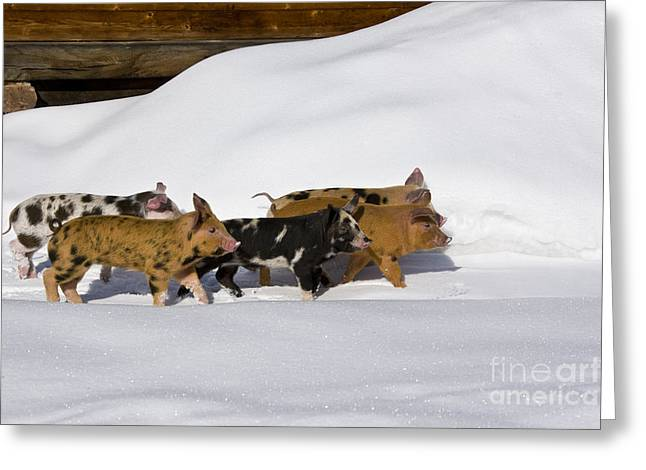 Litter Mates Greeting Cards - Piglets In The Snow Greeting Card by Jean-Louis Klein & Marie-Luce Hubert